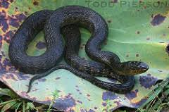 english pattern snake guides common snakes identification guide for the houston area
