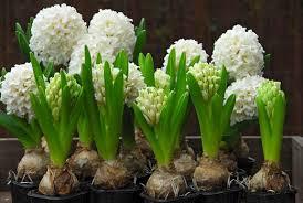 Hyacinth Flower Hyacinthus Orientalis U0027carnegie U0027 Dutch Hyacinth