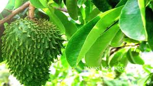 cancer treatment cure cancer with soursop leaves and fruit youtube