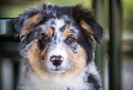 australian shepherd iq top 8 shepherd dog breeds yummypets
