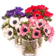 anemones flowers anemone flowers care and handling flower muse