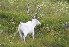 white reindeer reindeer in velvet gordontour flickr