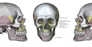 Anatomy Of The Human Skeleton Analysing The Bones What Can A Skeleton Tell You Natural