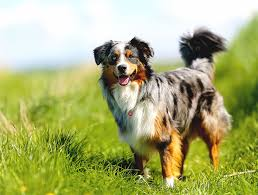 raising an australian shepherd australian shepherd pros and cons of owning this fascinating pet