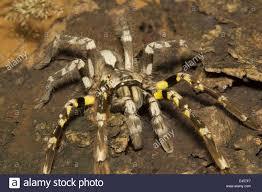 indian ornamental tarantula poecilotheria regalis matheran