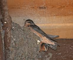Cliff Barn Pictures And Information On Barn Swallow