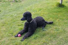 standard poodle hair styles how to cord a poodle coat pets