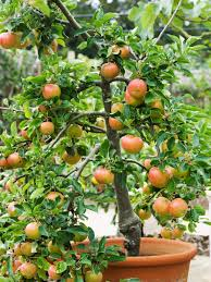 low maintenance apple trees hgtv