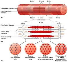 Anatomy And Physiology The Muscular System Types Of Muscle Tissue Life Science Pinterest Muscle Tissue