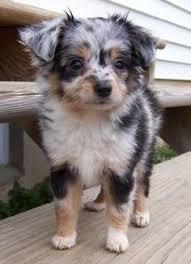 australian shepherd mini puppy aussiepoo healthy furry friends pinterest dog australian