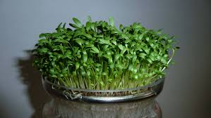 Plants That Dont Need Sunlight by Growing Cress Cressinfo Com