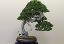 how to care for a bonsai tree if it looks yellow