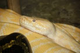 learn about nature types of snakes pythonidae learn about nature