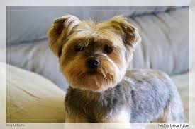 pictures of puppy haircuts for yorkie dogs teddy bear face yorkies teddy bear and haircuts