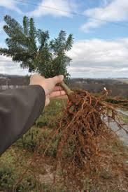 tree transplants tree farms in carolina
