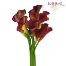 Calla Flower Calla Lily Mini Burgundy Wholesale Blooms By The Box