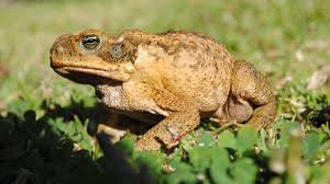 suspected cane toad sighting in hawks nest newcastle herald
