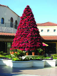 poinsettia tree manually watered poinsettia tree commercial christmas supply