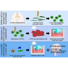 Blood Brain Barrier Anatomy Establishment Of A Human Blood Brain Barrier Co Culture Model