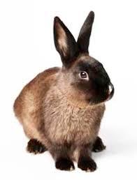rspca victoria rabbits