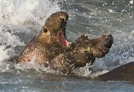 elephant seal wikipedia