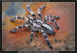 poecilotheria regalis the classic pokie species tarantulas i