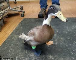 dudley the duckling get a 3d printed leg after losing his own in a