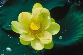 file lotus flower nelumbo nucifera jpg wikimedia commons