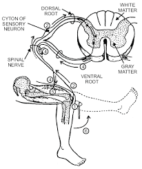 How Does A Reflex Arc Work In A Nervous System New Page 1