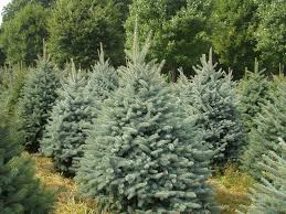extravagant white spruce christmas tree vermont balsam hill