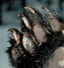 black claws american center how dangerous are black bears