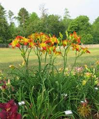 daylilies for sale panic in detroit 35 00 daylilies slightly different nursery