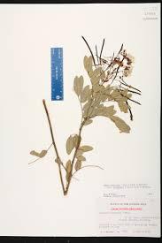 florida keys native plants senna mexicana var chapmanii species page isb atlas of