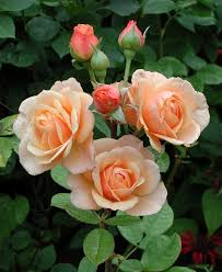 1197 best roses images on pinterest flowers nature and plants