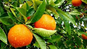 homelife how to grow lots of fruit on your citrus trees