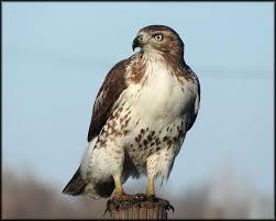 North Dakota birds images North dakota birding society jpg