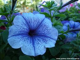 blue flower blue flower bell