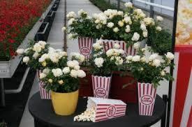 drift roses popcorn drift bush groundcover roses for sale brighter