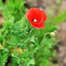 red corn poppy papaver rhoeas garden flower seeds us 1 39 sold out