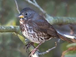 California Backyard Birds by Fox Sparrow Identification All About Birds Cornell Lab Of