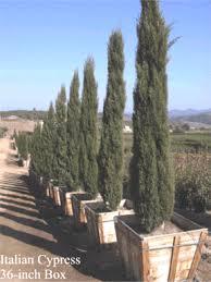 wholesle italian cypress trees for sale buy italian cypress
