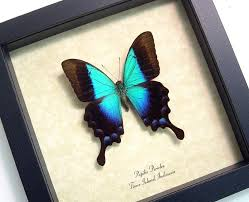 wedding gift indonesia wedding gift real framed blue glosswing papilio pericles