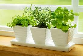 Chocolate Mint Bonnie Plants by How To Grow Herbs Indoors Bonnie Plants