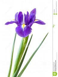 iris flower clipart clipart panda free clipart images crafts