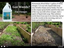 best 25 vinegar weed killers ideas on pinterest weeds vinegar