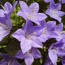 Indoor Flowering Plants by Plants U0026 Flowers Star Of Bethlehem