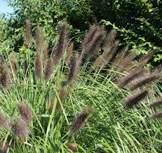 ornamental grass 12 mixed variety collection plants to plant