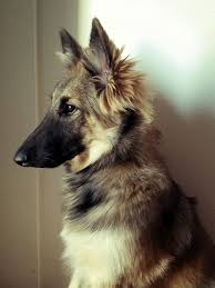 belgian sheepdog association 119 best belgian tervuren sheep dog images on pinterest sheep