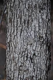 White Oak Tree Bark Mt Tom Cabin Wondermyway