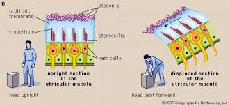 Basic Anatomy Of The Ear Human Ear The Physiology Of Balance Vestibular Function
